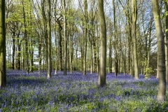 clumber bluebells notts -9498