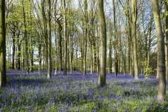 clumber-bluebells-notts-9498